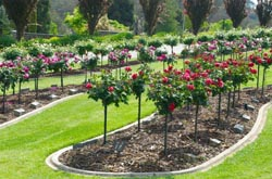 garden bed with standard roses